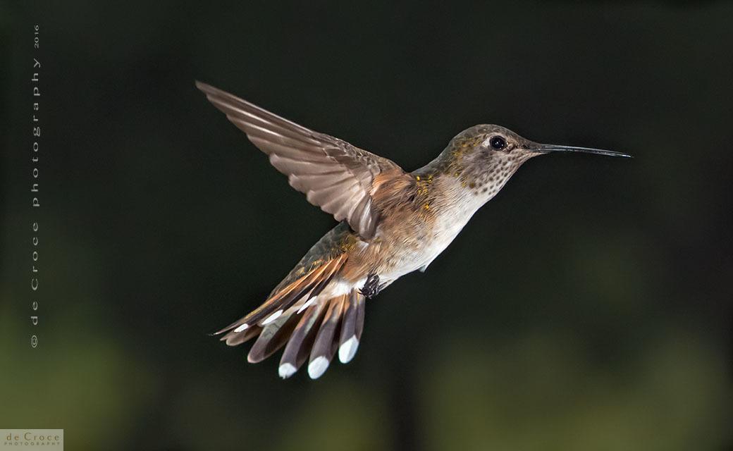 Denver Hummingbird photographers