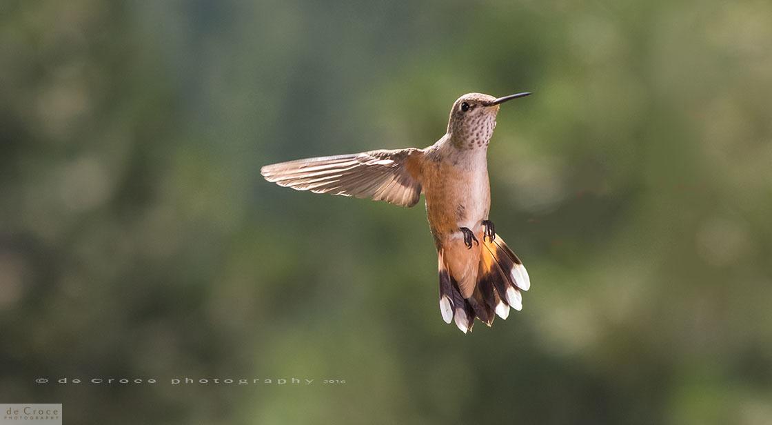 Hummingbird Denver Photography